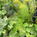 vegetable garden planning companion planting